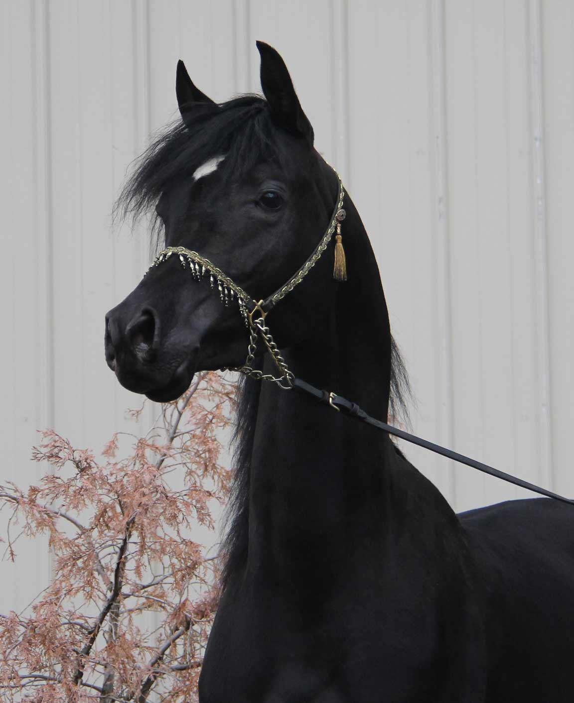 Black colt HF Creed by Ferric BP