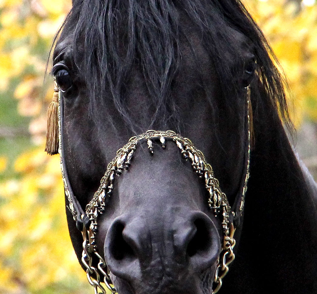 homozygous black Arabian stallion Ferric BP
