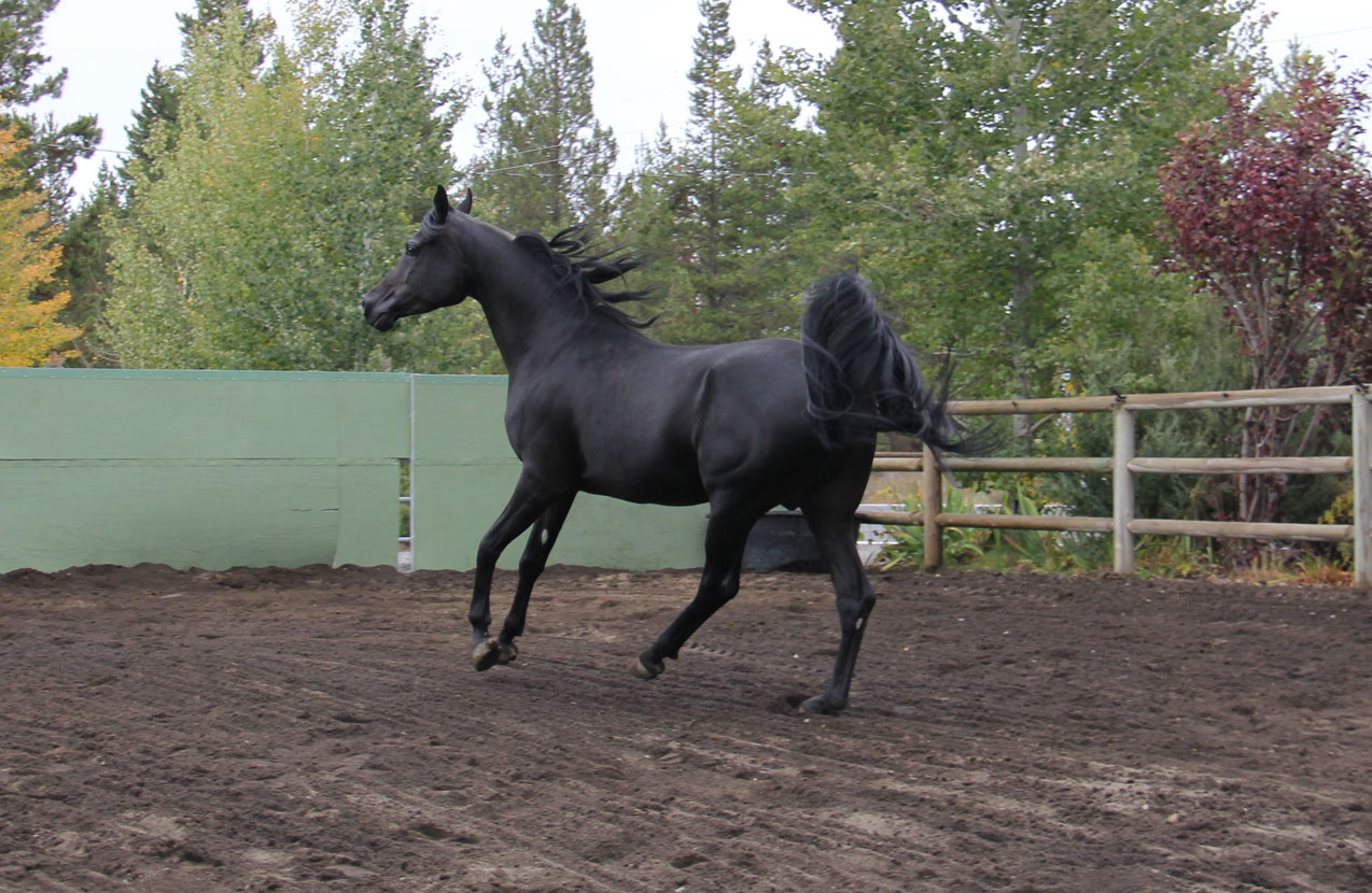 Homozygous black stallion, Ferric BP