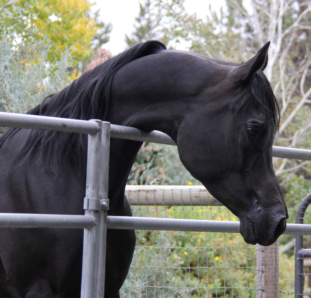 Homozygous solid black Arabian stallion, Ferric BP