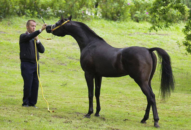 Exotic Black Arabian stallion by True Colours
