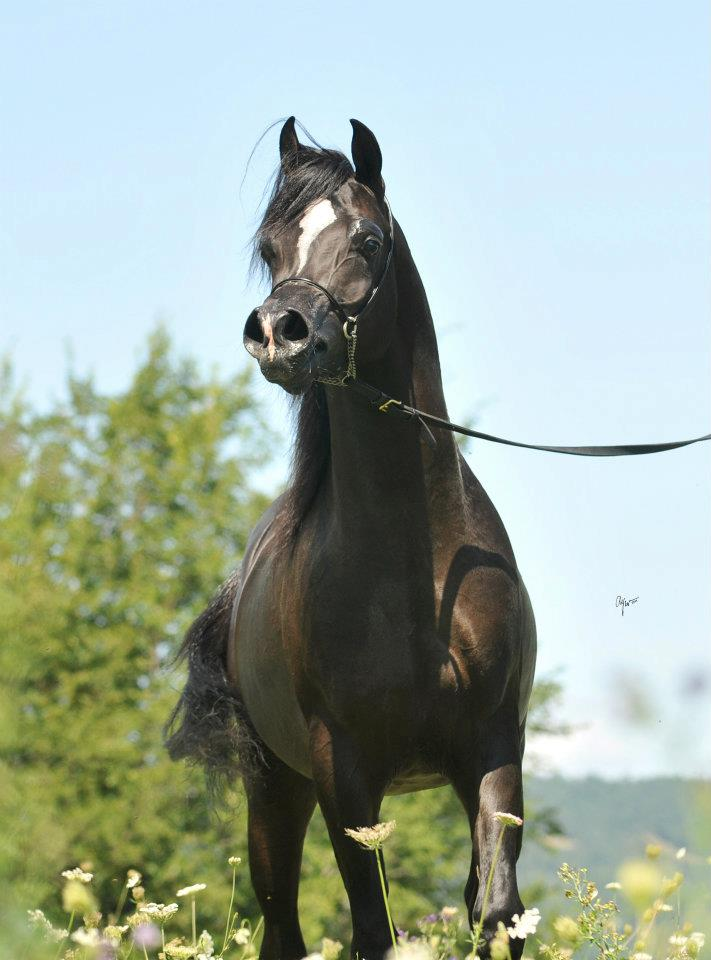 Black Arabian stallion by True Colours