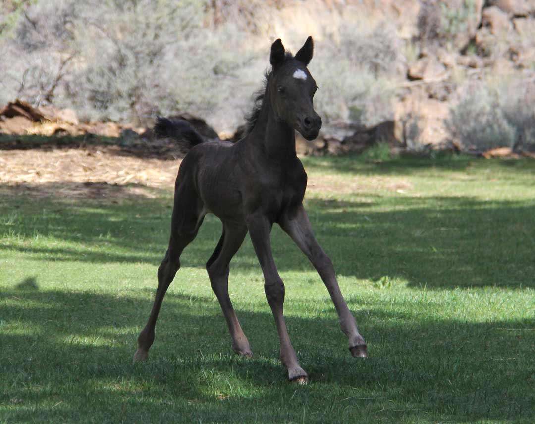 Black filly by Ferric BP